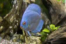 Free One Blue Discus Royalty Free Stock Images - 14609319