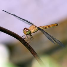 Free Tropical Dragonfly Royalty Free Stock Images - 14609379