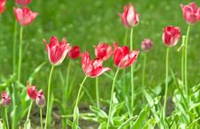 Free Tulips Royalty Free Stock Photography - 14609737
