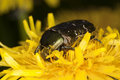Free Rose Chafer (Potosia Cuprea) Royalty Free Stock Photography - 14610207
