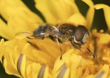 Free Flowerfly Feeding On A Dandelion. Royalty Free Stock Photos - 14610058