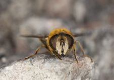 Free Extreme Close-up Of A Fly Royalty Free Stock Photos - 14610078