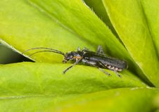 Free Soldier Beetle Sitting On A Leaf. Stock Photos - 14610153