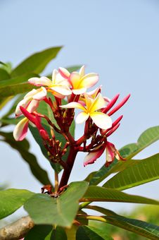 Free Common Fragipani Stock Photos - 14610423