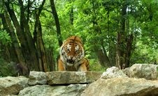 Free Enraged Tiger Royalty Free Stock Photos - 14614358