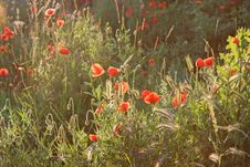 Free Light Falling Over A Field With Poppy Flowers Stock Photos - 14615803