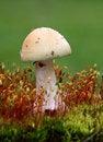 Free Mushroom - White Toadstool Royalty Free Stock Photos - 14622978