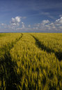 Free Golden Wheat Field And Blue Sky Royalty Free Stock Photo - 14627015