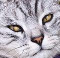 Free Blue Cat Closeup Royalty Free Stock Photography - 14627267