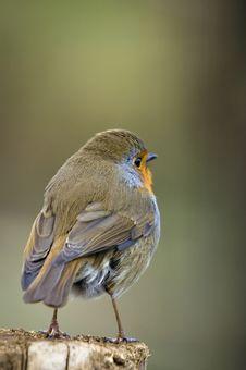 Free Robin (Erithacus Rubecula) Stock Images - 14622884