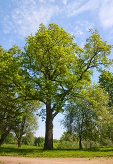 Free Green Oak Tree Royalty Free Stock Image - 14622886