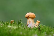Free Two Yellow Mushrooms Stock Photography - 14622912