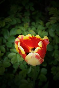 Free Tulip Bud Royalty Free Stock Photos - 14622918