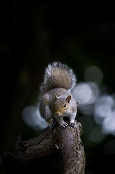 Free Grey Squirrel (Sciurua Carolinensis) Royalty Free Stock Images - 14623039