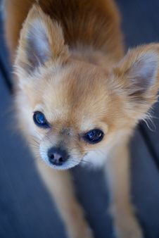 Free Chihuahua Staring Royalty Free Stock Images - 14623339