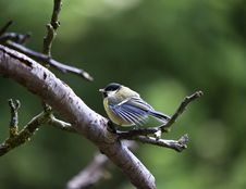 Free Great Tit (Parus Major) Stock Image - 14623431