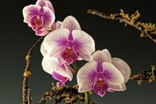 Free Magenta And White Orchids Royalty Free Stock Photos - 14623788