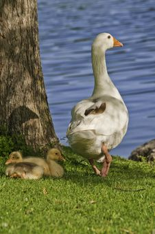 Free A Family Of Geese Stock Image - 14624401