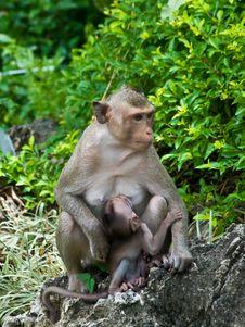 Free The Mom Monkey With Baby Monkey Stock Image - 14625401