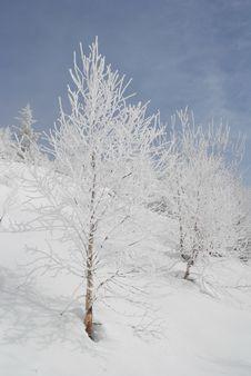 Free White Winter Birches On A Hillside. Stock Photos - 14625603