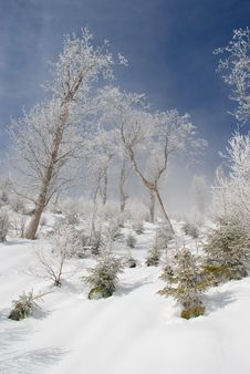 Free White Winter Birches On A Hillside Royalty Free Stock Images - 14625649