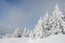 Free White Winter Fur-trees On A Hillside Royalty Free Stock Images - 14625659