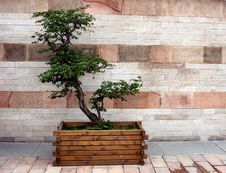 Bonsai Plant Stock Photography