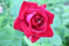 Free Rose Under Rain Royalty Free Stock Photo - 14626165