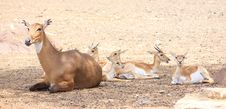 Free Cute Young Deer And Its Mother Royalty Free Stock Images - 14626269