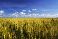 Free Golden Wheat Field And Blue Sky Royalty Free Stock Photo - 14626945