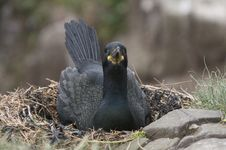 Cormorant Incubating Eggs On Nest Royalty Free Stock Images