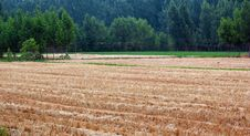 Free Wheat Fields And Poplar Woods Royalty Free Stock Photo - 14627565