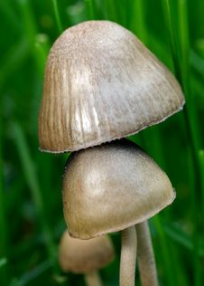 Free Two Mushrooms Royalty Free Stock Photos - 14627908