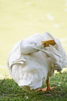 Free A Morning Preening Goose Stock Image - 14628811