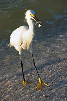 Free Snowy Egret Royalty Free Stock Photo - 14629125