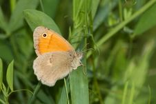 Free Small Heath / Coenonympha Pamphilus Royalty Free Stock Images - 14629599