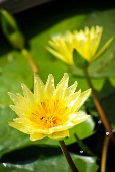 Free A Yellow Lotus Royalty Free Stock Photo - 14629855
