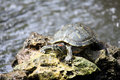 Free Tortoise On A Rock Stock Image - 14630861