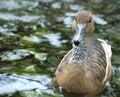 Free Wet Brown Duck Stock Image - 14633551