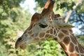 Free Giraffe Head Royalty Free Stock Photography - 14634077