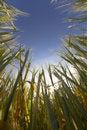Free Wheat Field, Harvest Royalty Free Stock Photo - 14634785