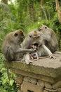 Free Family Of Monkeys Royalty Free Stock Photos - 14639718