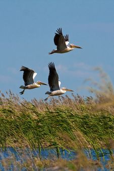 Free Pelicans (pelecanus Onocrotalus) Stock Images - 14630084