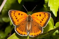Free Lycaena Dispar Royalty Free Stock Image - 14630226