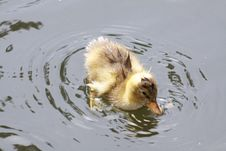 Free Wet Duckling Royalty Free Stock Photography - 14630937
