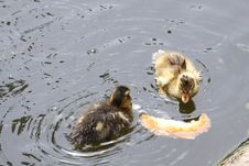 Two Wet Ducklings Royalty Free Stock Image
