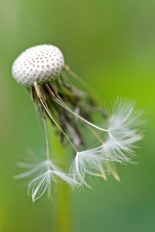 Free Dandelion Royalty Free Stock Images - 14631139