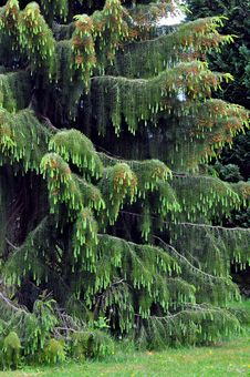 Free Weeping Spruce Stock Photos - 14631693
