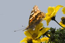 Free Butterfly On Yellow Flower Stock Image - 14631751