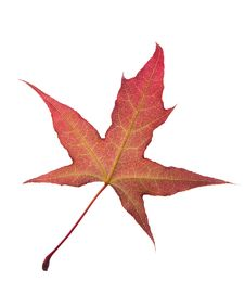 Free Maple Leaf Stock Photos - 14631933